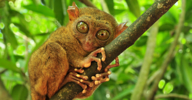 feature-6-tarsier_000014354475_Small