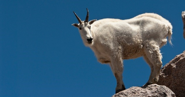 Mountain Goat on Mount Evans in Colorado
