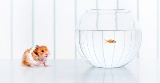 hamster fish