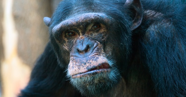 mean chimp