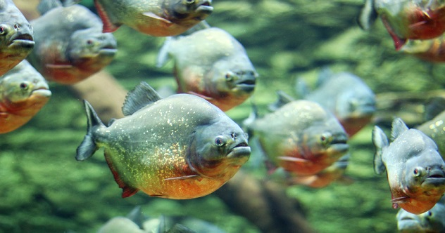 flock of piranhas swim nature wildlife