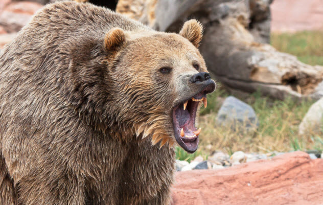 2-grizzly-bear_000021763420_Small