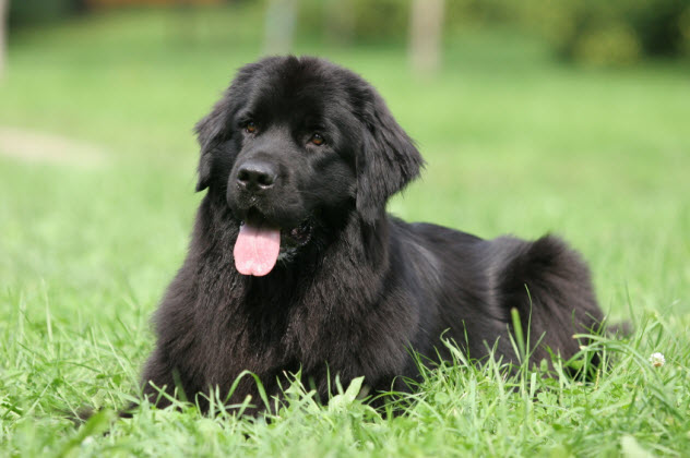 3-newfoundland-dog_000005164043_Small