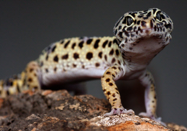 4a-spotted-lizard_000022959644_Small