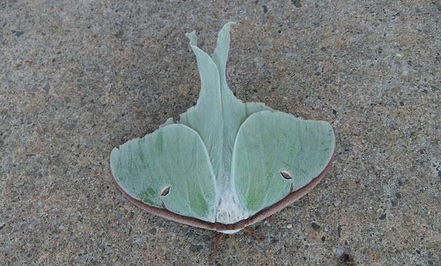 8-luna-moth