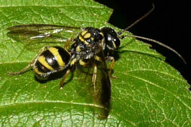 Trigonalidae