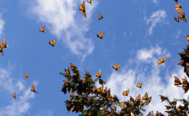 1-flying-monarch-butterflies_000062838708_Small