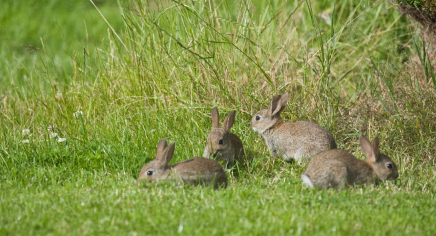 1-rabbits_000006631472_Small