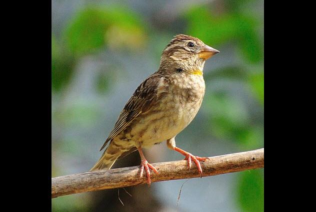 1-rock-sparrow