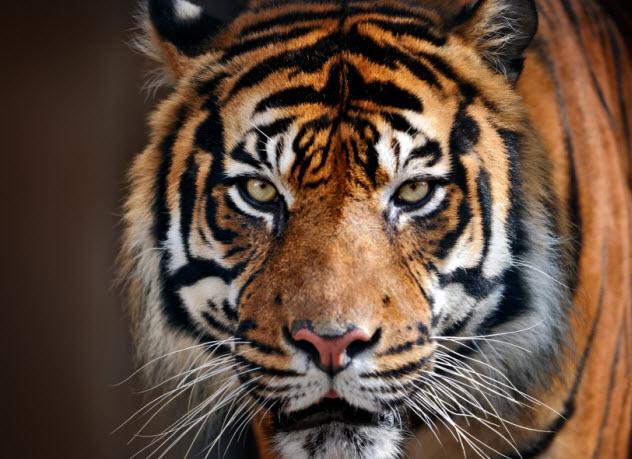 1-tiger_000083912765_Small