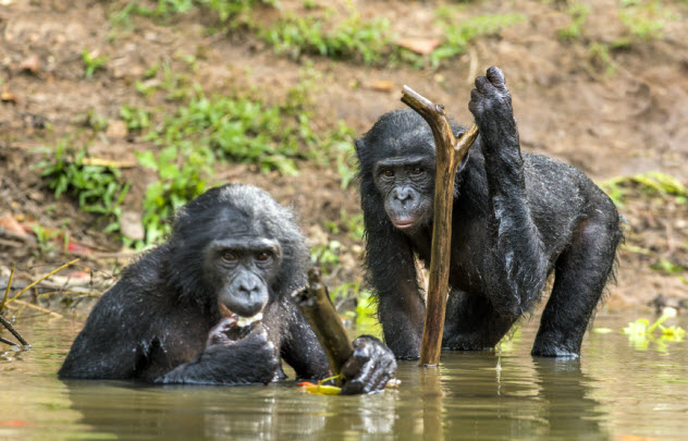 10-great-apes-chimpanzee_000091802859_Small