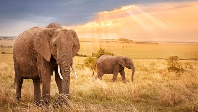2-elephants_000034520576_Small