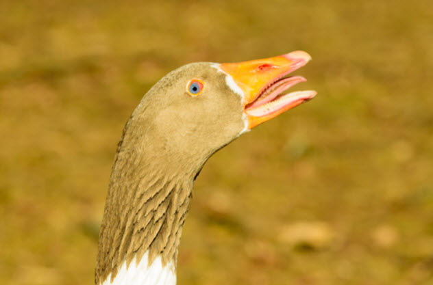 2-goose-fang_000089619567_Small