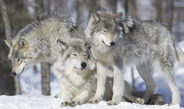 4-wolves_000061883430_Small