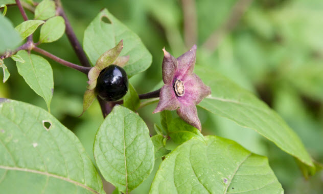 5-nightshade_000031402842_Small