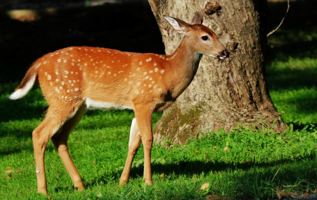 7-white-tailed-deer_000084829075_Small