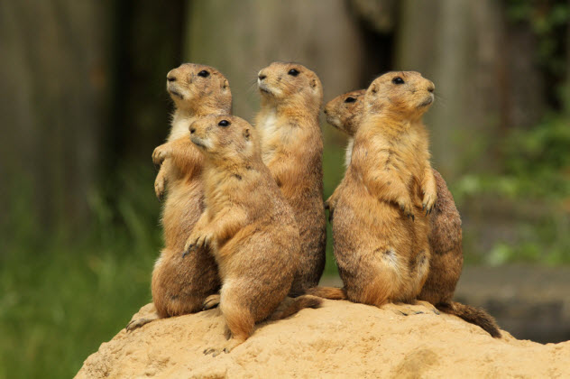 8-prairie-dogs_000020305526_Small