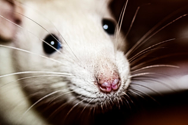 8-rat-nose_000041694152_Small
