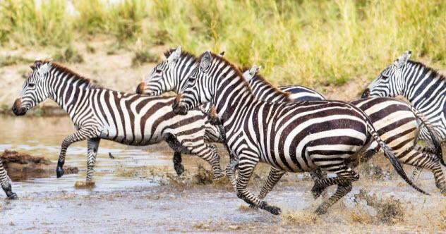 8a-zebras-running_000054974760_Small