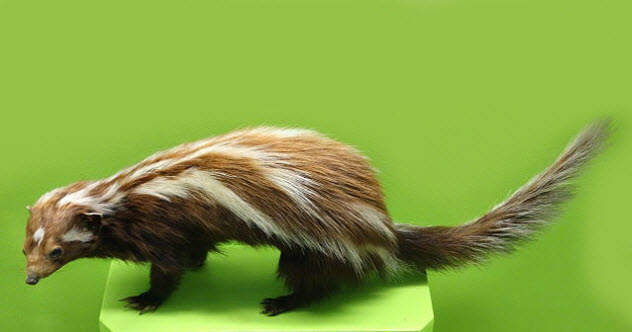 9b-striped-polecat-bkgr