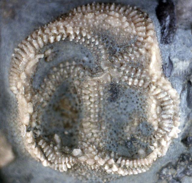 Edrioasteroid