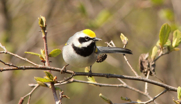 1-golden-winged-warbler