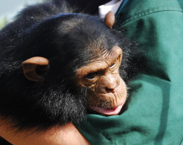 10a-chimp-hug_8578073_LARGE-bkgr