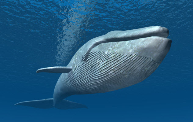 2-blue-whale_33627068_SMALL