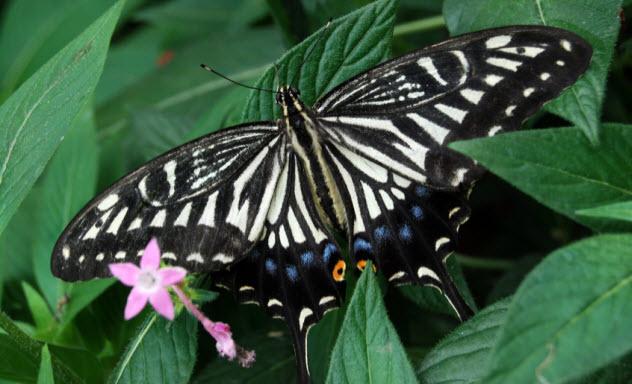 3-chinese-yellow-swallowtail_17623751_SMALL