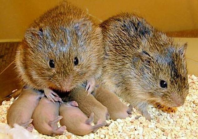 3-prairie-voles