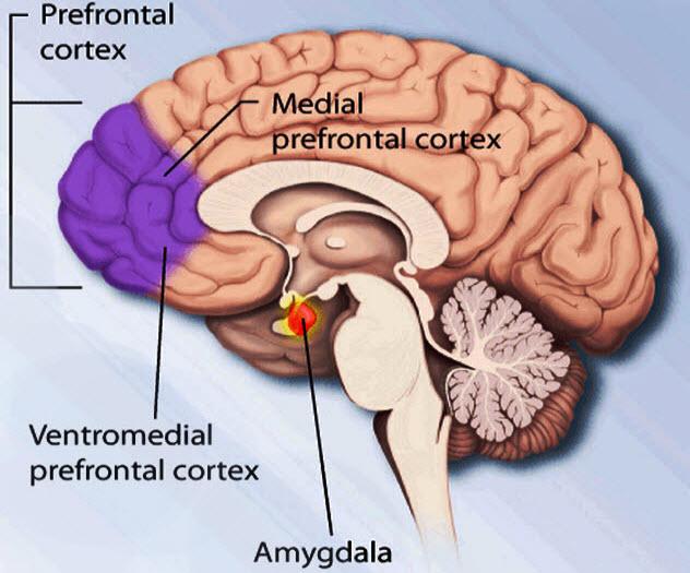 3b-amygdala