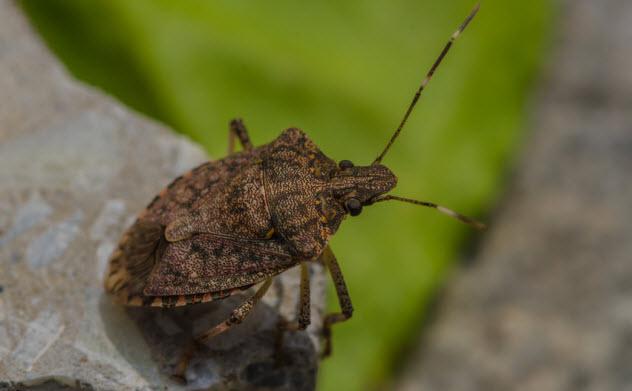 5-squash-bug_45070738_SMALL