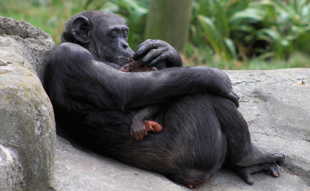 7-chimp-mother-with-baby_000057328094_Small