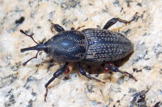 8-billbug