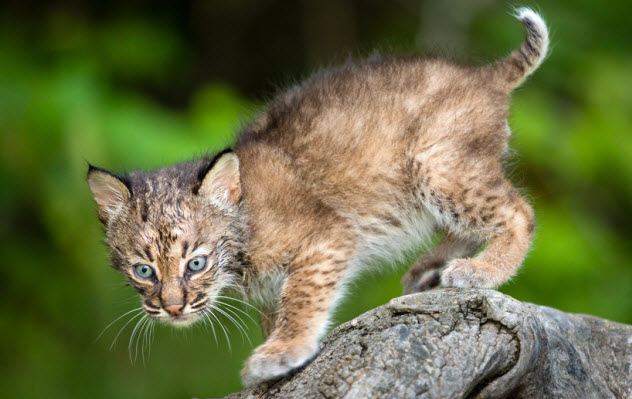 10-bobcat-kitten_22083391_SMALL