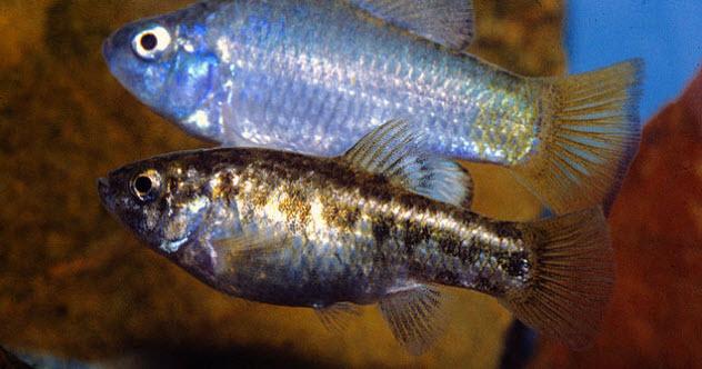 2-pupfish