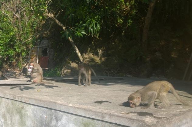 Beer drinking ape on Monkey Island in Halong Bay Vietnam
