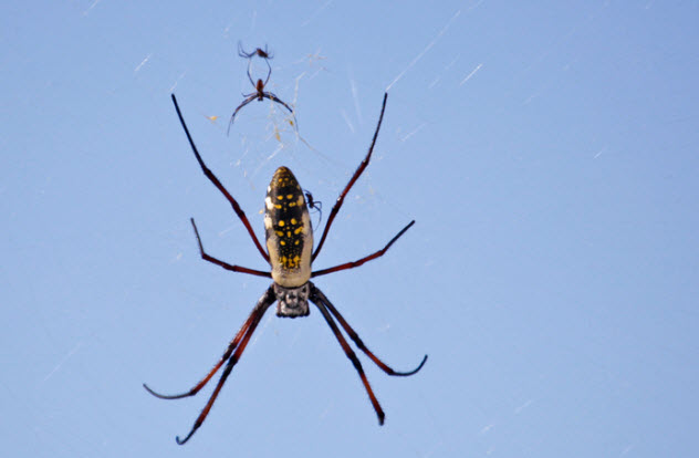 5-madagascan-golden-orb-spider_14066697_SMALL