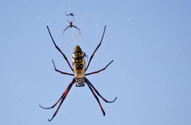 5-madagascan-golden-orb-spider_14066697_SMALL