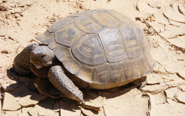 6-desert-tortoise