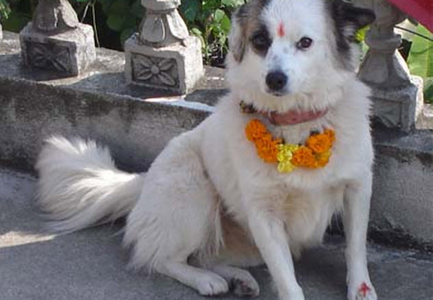 6-venerated-tihar-dog