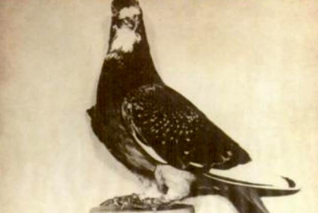 9a-gi-joe-pigeon
