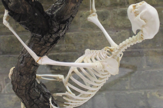 Sloth Skeleton