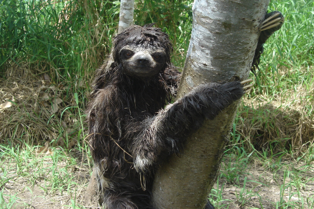 Sloth on Ground