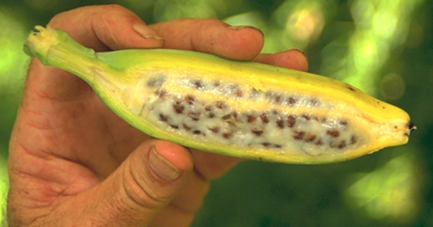 10 Foods That Exist Because Of Ancient Genetic Engineering ...Undomesticated Banana