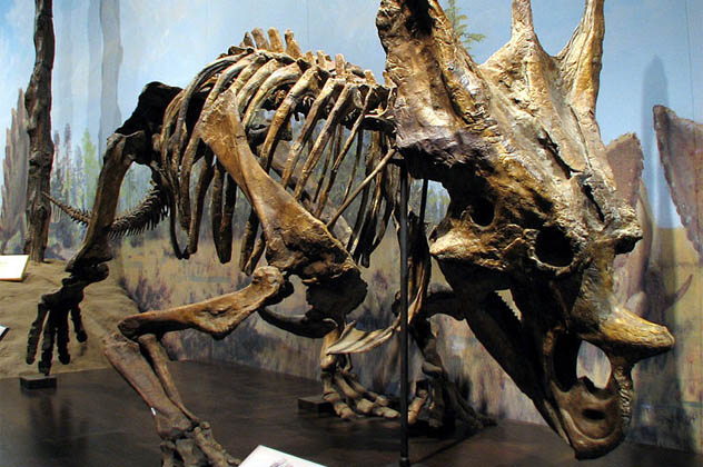 3- Chasmosaurus belli