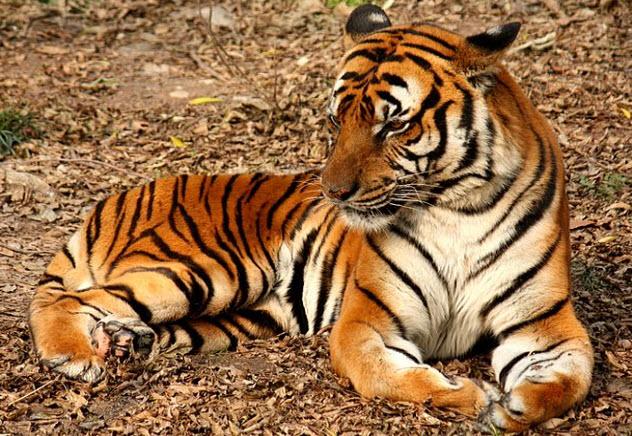 5-south-china-tiger