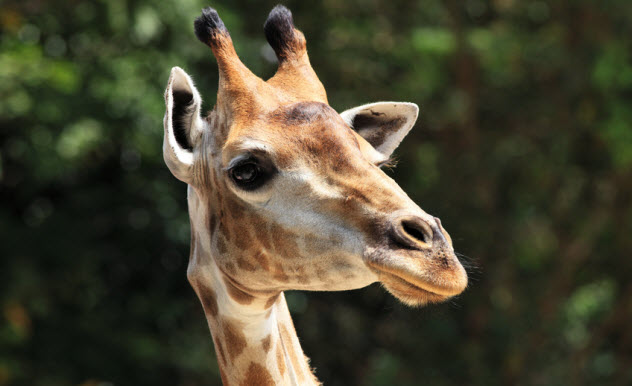 5b-giraffe_27115784_SMALL