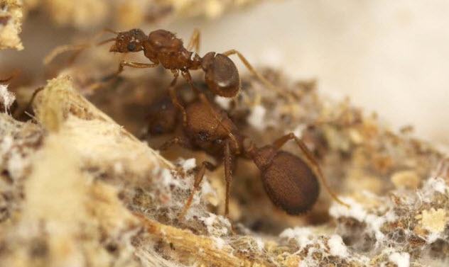7-parasitic-ant-speciation