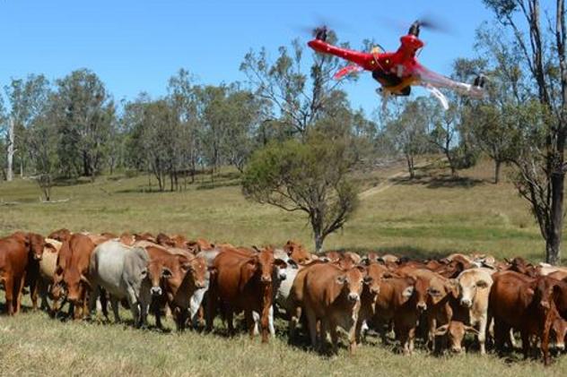 Drone Herding Cattle